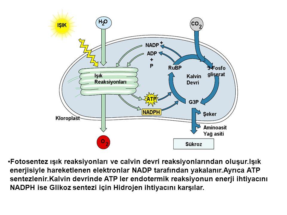 •Fotosentez ışık reaksiyonları ve calvin devri reaksiyonlarından oluşur.Işık enerjisiyle hareketlenen elektronlar NADP tarafından yakalanır.Ayrıca ATP