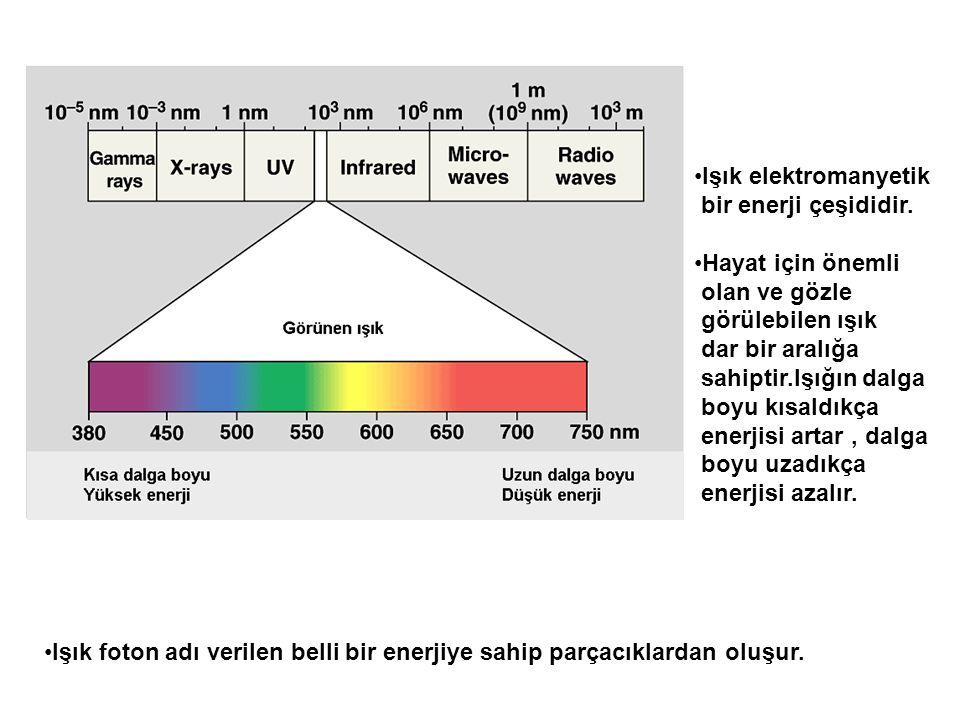 •Işık elektromanyetik bir enerji çeşididir. •Hayat için önemli olan ve gözle görülebilen ışık dar bir aralığa sahiptir.Işığın dalga boyu kısaldıkça en
