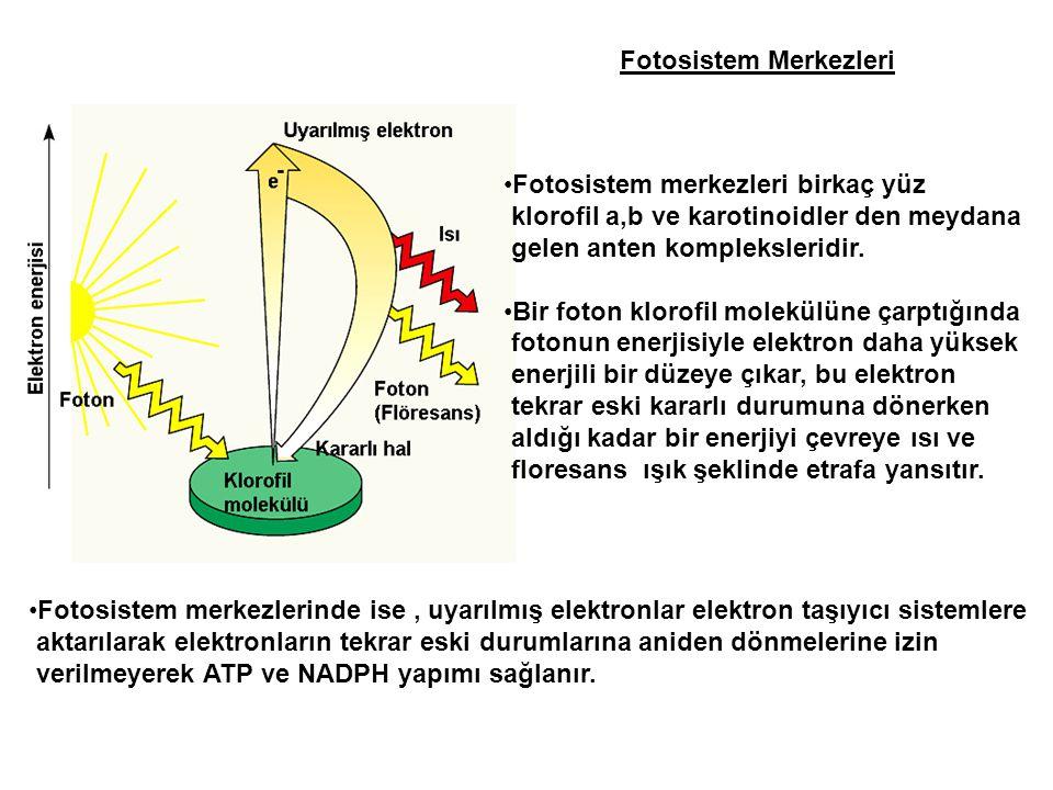 Fotosistem Merkezleri •Fotosistem merkezleri birkaç yüz klorofil a,b ve karotinoidler den meydana gelen anten kompleksleridir. •Bir foton klorofil mol