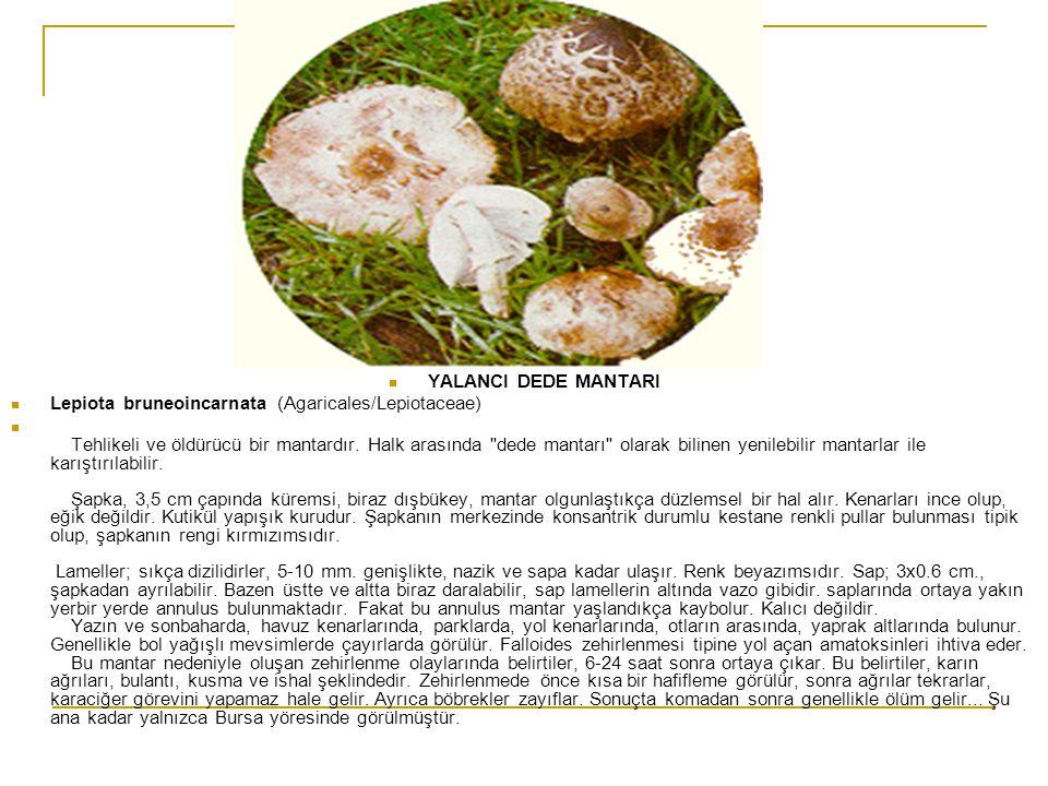  YALANCI DEDE MANTARI  Lepiota bruneoincarnata (Agaricales/Lepiotaceae)  Tehlikeli ve öldürücü bir mantardır. Halk arasında