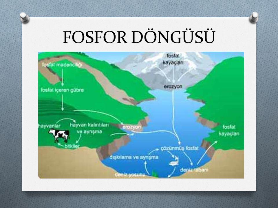 FOSFOR DÖNGÜSÜ O Doğadaki fosfat kaynakları yer kabuğundaki fosfatlı kayalar ve denizlerdir.