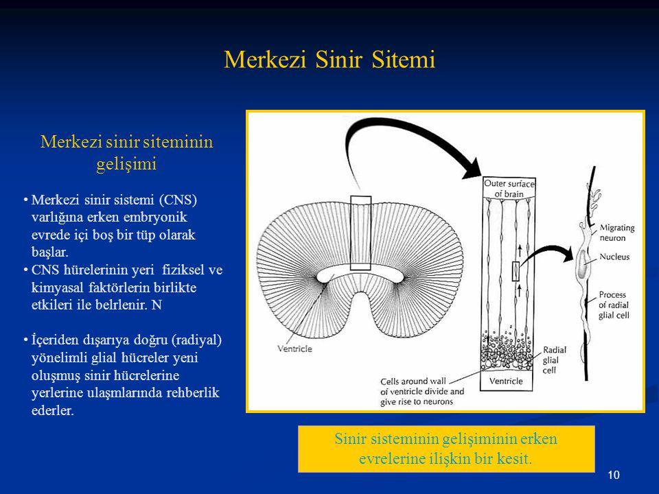 10 Merkezi Sinir Sitemi Merkezi sinir siteminin gelişimi Sinir sisteminin gelişiminin erken evrelerine ilişkin bir kesit. •Merkezi sinir sistemi (CNS)