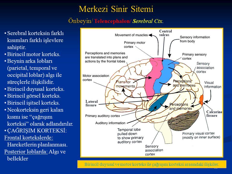17 •Serebral korteksin farklı kısımları farklı işlevlere sahiptir. •Birincil motor korteks. •Beynin arka lobları (parietal, temporal ve occipital lobl