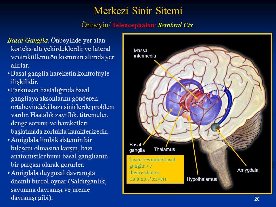 20 Basal Ganglia. Önbeyinde yer alan korteks-altı çekirdeklerdir ve lateral ventriküllerin ön kısmının altında yer alırlar. •Basal ganglia hareketin k