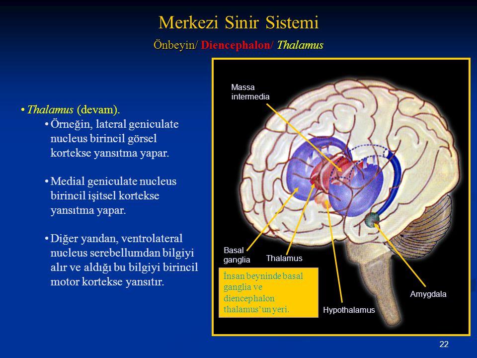 22 •Thalamus (devam). •Örneğin, lateral geniculate nucleus birincil görsel kortekse yansıtma yapar. •Medial geniculate nucleus birincil işitsel kortek