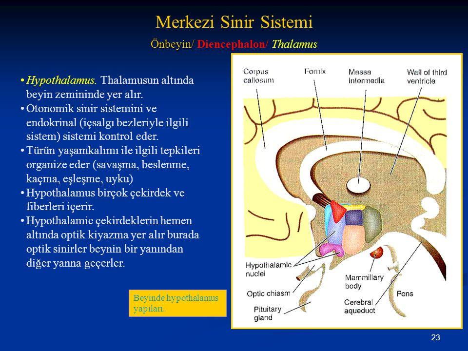 23 •Hypothalamus. Thalamusun altında beyin zemininde yer alır. •Otonomik sinir sistemini ve endokrinal (içsalgı bezleriyle ilgili sistem) sistemi kont