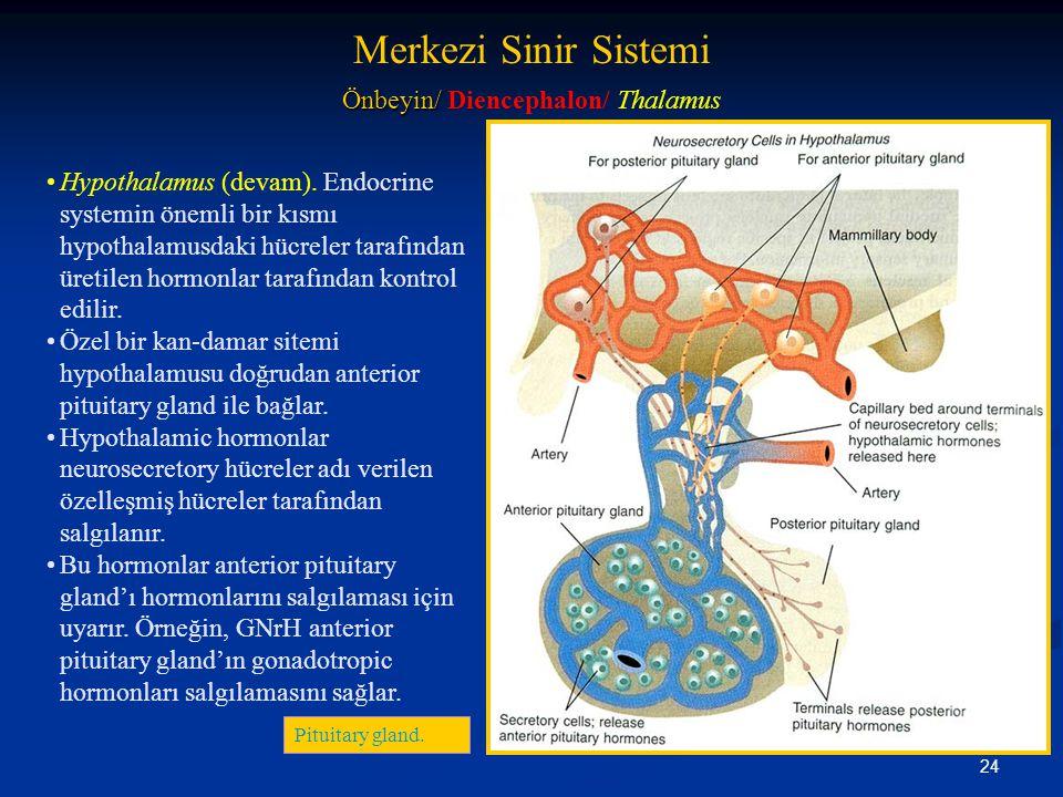 24 •Hypothalamus (devam). Endocrine systemin önemli bir kısmı hypothalamusdaki hücreler tarafından üretilen hormonlar tarafından kontrol edilir. •Özel