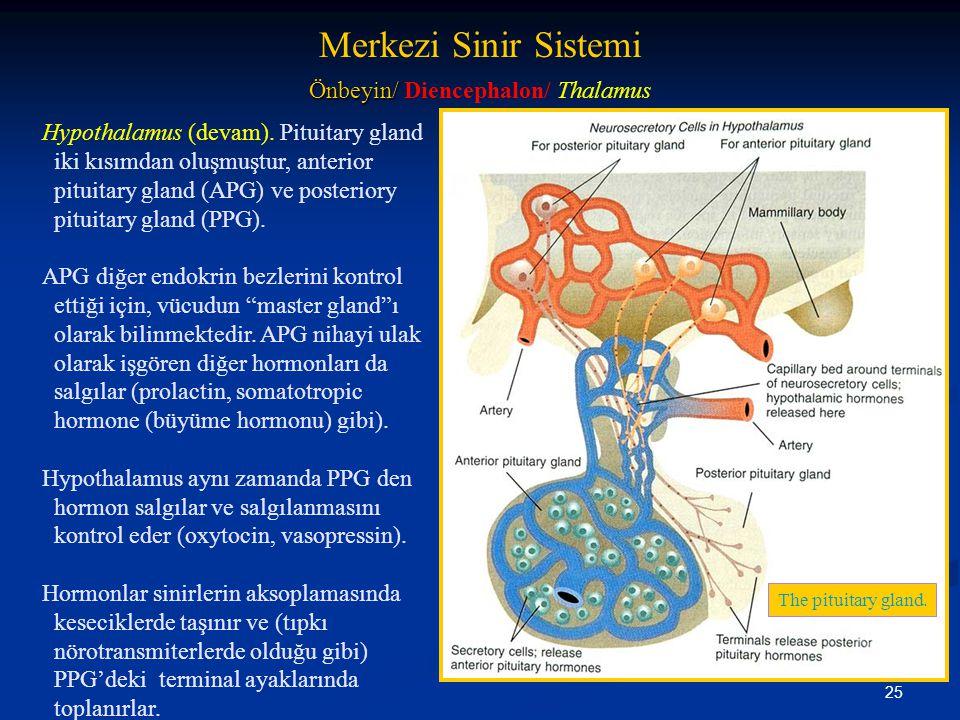25 Hypothalamus (devam). Pituitary gland iki kısımdan oluşmuştur, anterior pituitary gland (APG) ve posteriory pituitary gland (PPG). APG diğer endokr