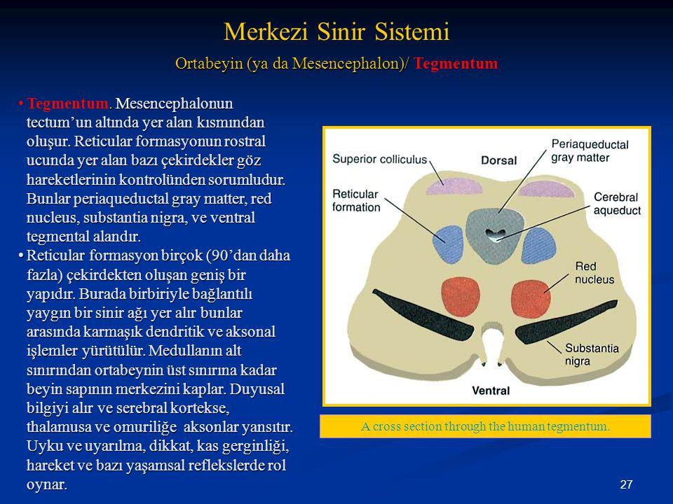 27. Mesencephalonun tectum'un altında yer alan kısmından oluşur. Reticular formasyonun rostral ucunda yer alan bazı çekirdekler göz hareketlerinin kon