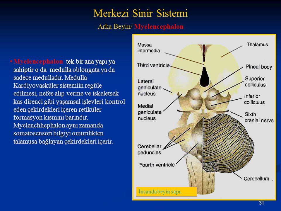 31 Arka Beyin/ Arka Beyin/ Myelencephalon tek bir ana yapı ya sahiptir o da medulla oblongata ya da sadece medulladır. Medulla Kardiyovasküler sistemi