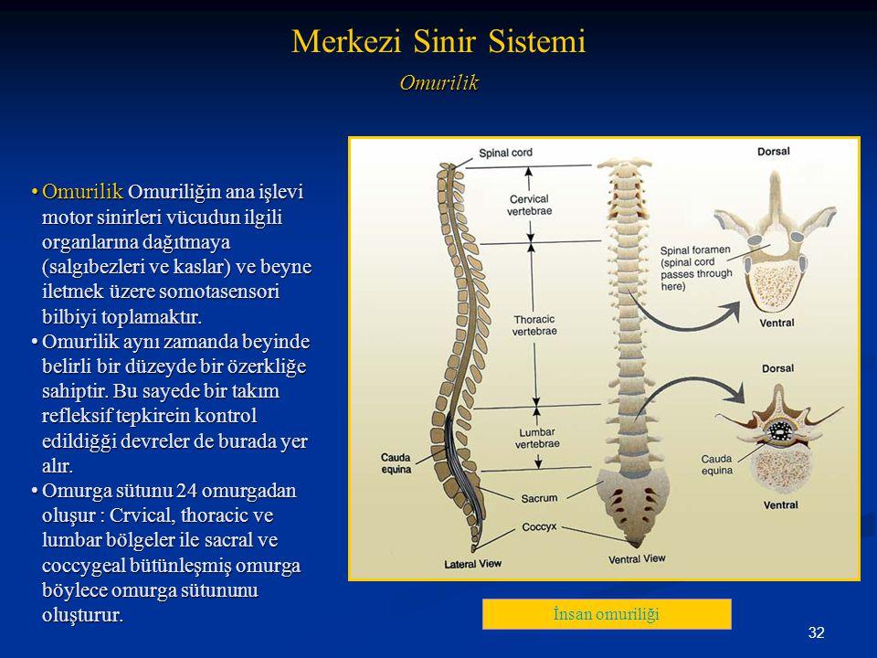 32 Omurilik •Omurilik Omuriliğin ana işlevi motor sinirleri vücudun ilgili organlarına dağıtmaya (salgıbezleri ve kaslar) ve beyne iletmek üzere somot