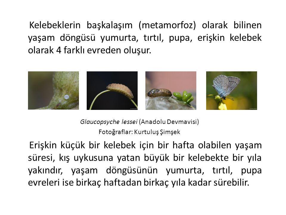 Kelebeklerin başkalaşım (metamorfoz) olarak bilinen yaşam döngüsü yumurta, tırtıl, pupa, erişkin kelebek olarak 4 farklı evreden oluşur. Glaucopsyche