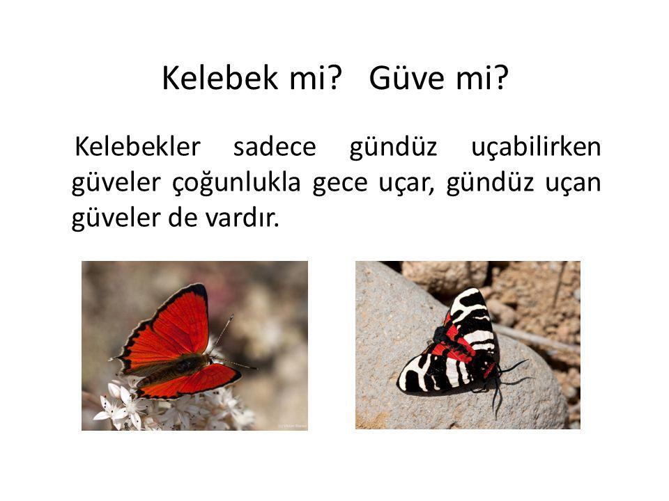 Kelebek mi? Güve mi? Kelebekler sadece gündüz uçabilirken güveler çoğunlukla gece uçar, gündüz uçan güveler de vardır.
