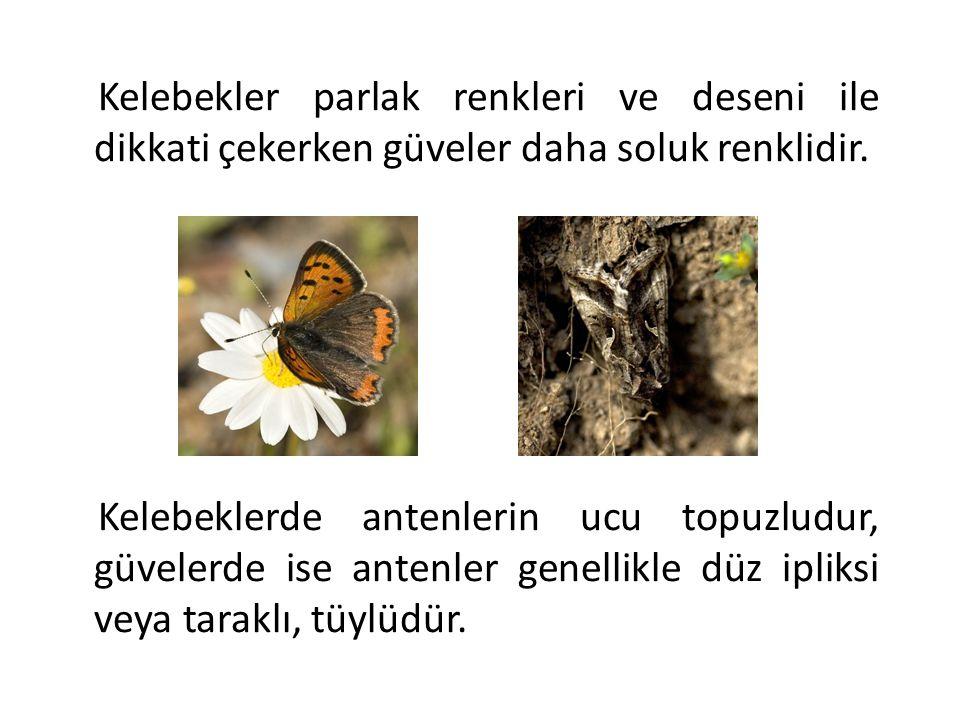 Kelebekler parlak renkleri ve deseni ile dikkati çekerken güveler daha soluk renklidir. Kelebeklerde antenlerin ucu topuzludur, güvelerde ise antenler