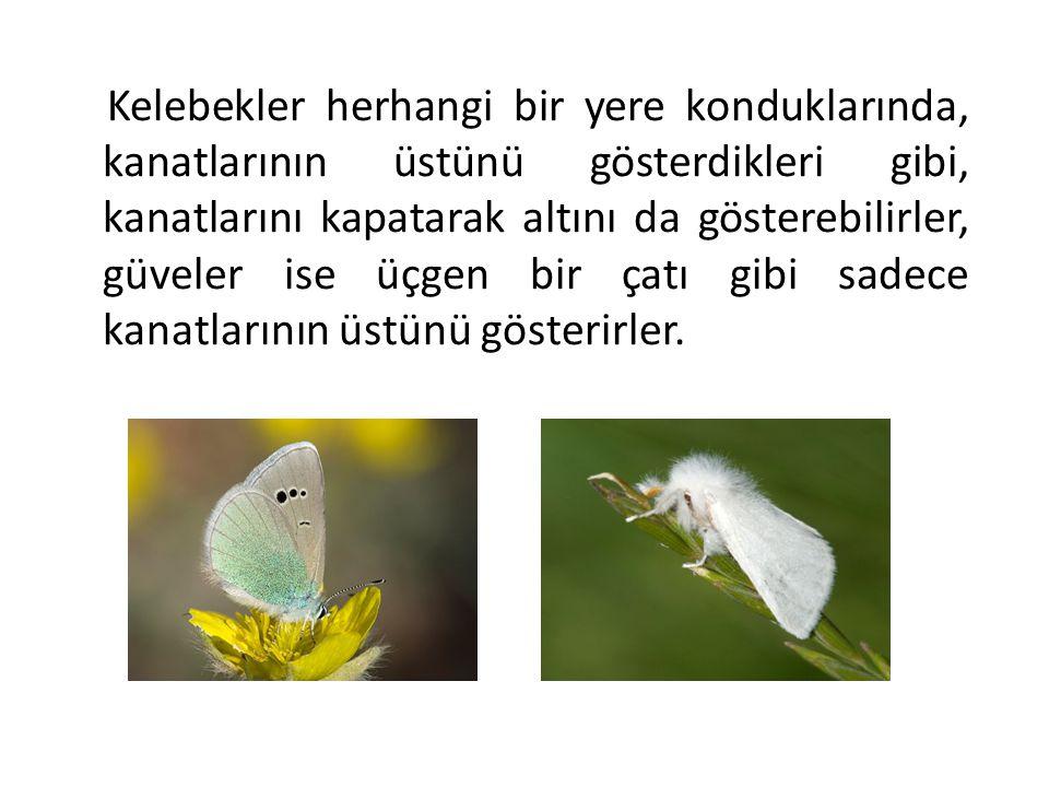 Kelebekler herhangi bir yere konduklarında, kanatlarının üstünü gösterdikleri gibi, kanatlarını kapatarak altını da gösterebilirler, güveler ise üçgen