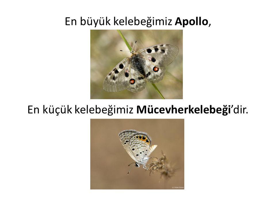 En büyük kelebeğimiz Apollo, En küçük kelebeğimiz Mücevherkelebeği'dir.