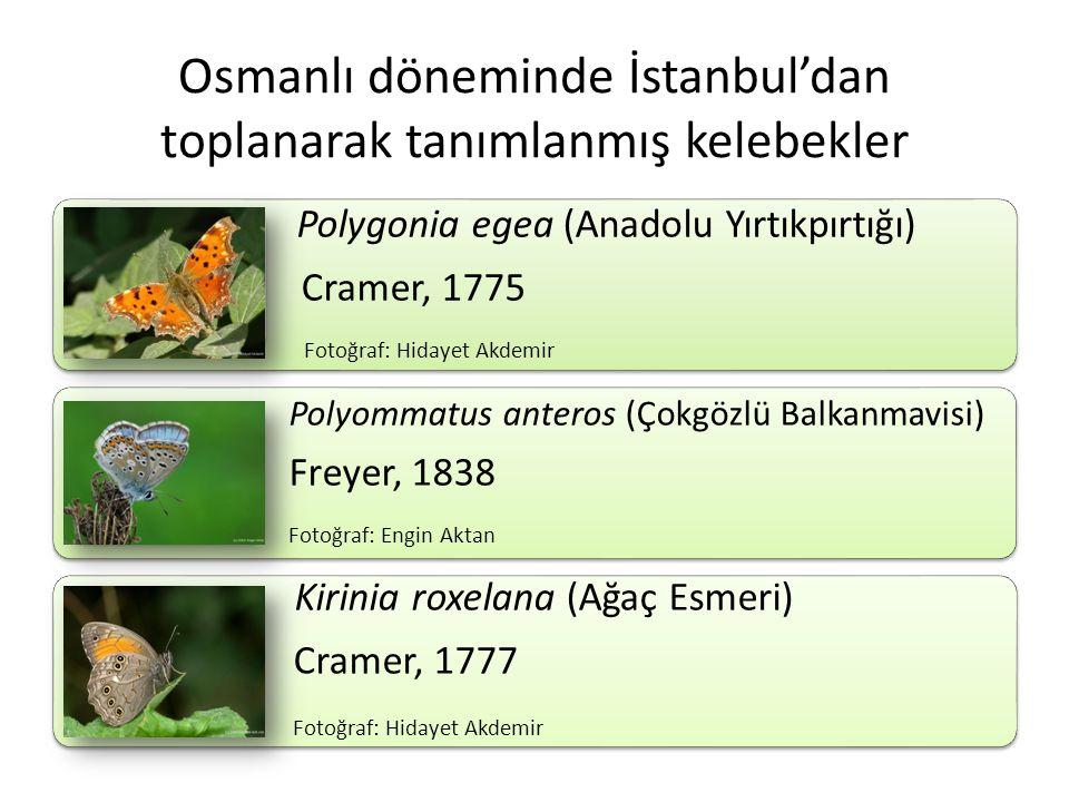 Osmanlı döneminde İstanbul'dan toplanarak tanımlanmış kelebekler Polygonia egea (Anadolu Yırtıkpırtığı) Cramer, 1775 Fotoğraf: Hidayet Akdemir Polyomm