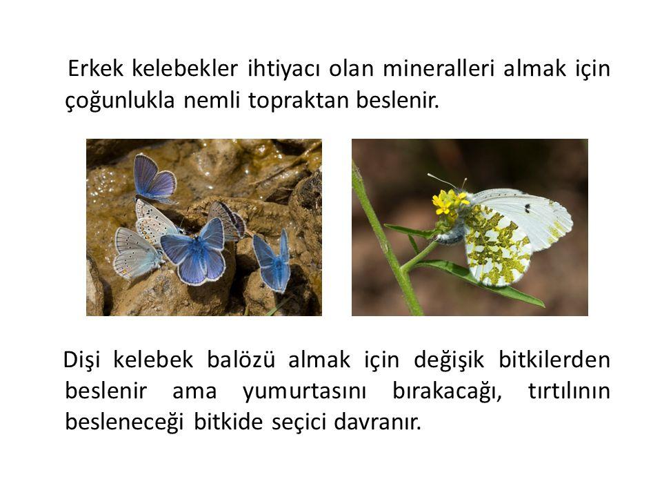 Erkek kelebekler ihtiyacı olan mineralleri almak için çoğunlukla nemli topraktan beslenir. Dişi kelebek balözü almak için değişik bitkilerden beslenir