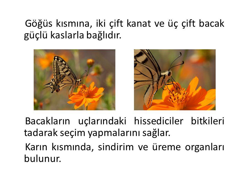 Kelebeklerin başkalaşım (metamorfoz) olarak bilinen yaşam döngüsü yumurta, tırtıl, pupa, erişkin kelebek olarak 4 farklı evreden oluşur.
