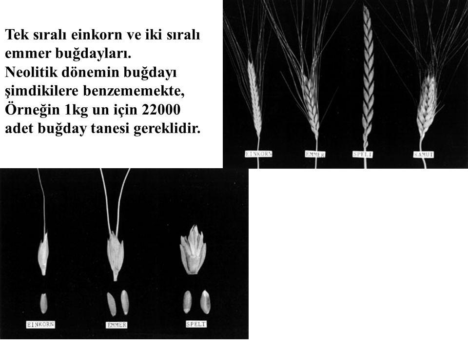 Tek sıralı einkorn ve iki sıralı emmer buğdayları. Neolitik dönemin buğdayı şimdikilere benzememekte, Örneğin 1kg un için 22000 adet buğday tanesi ger