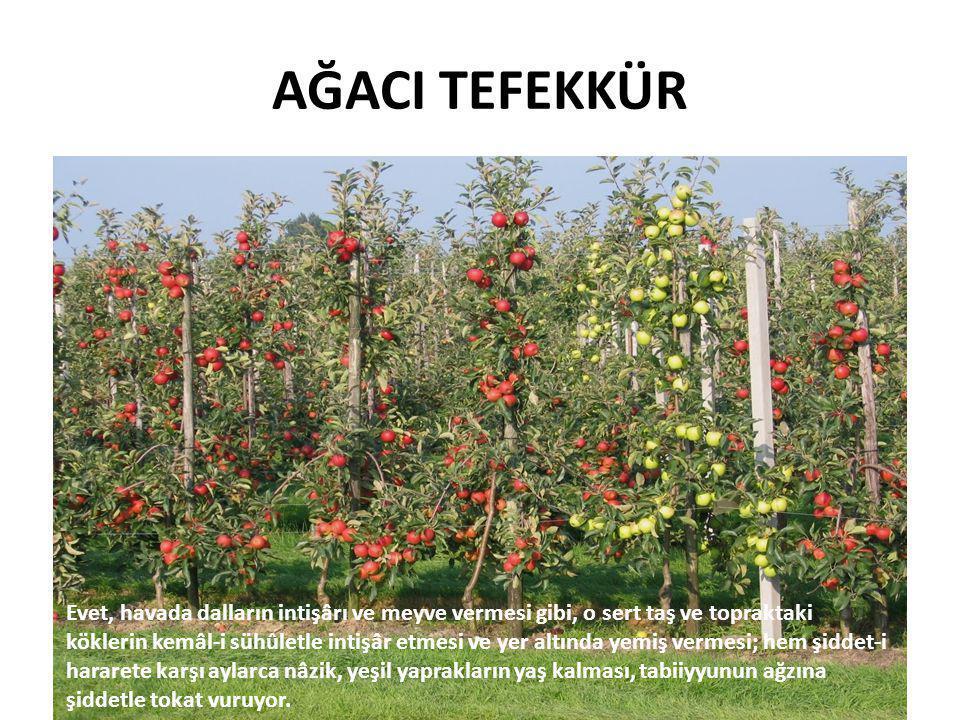 Elmanın Özellikleri • İçinde bulunan mineral tuzlar sayesinde idrar sökücü ve kanı temizleyici özelliği vardır.
