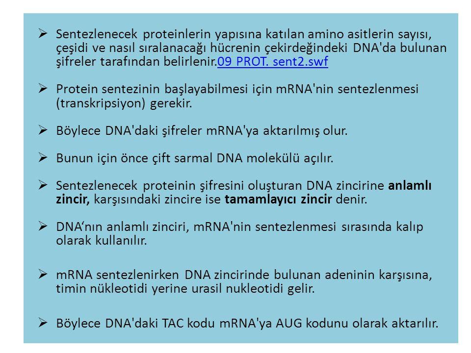  Sentezlenecek proteinlerin yapısına katılan amino asitlerin sayısı, çeşidi ve nasıl sıralanacağı hücrenin çekirdeğindeki DNA'da bulunan şifreler tar