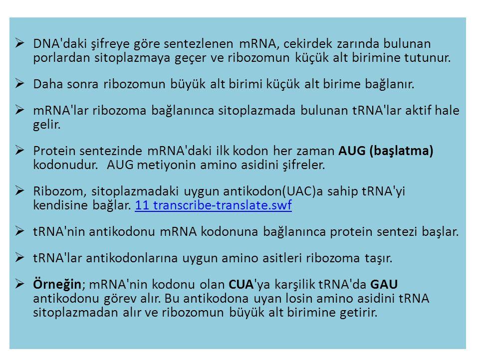 DNA'daki şifreye göre sentezlenen mRNA, cekirdek zarında bulunan porlardan sitoplazmaya geçer ve ribozomun küçük alt birimine tutunur.  Daha sonra