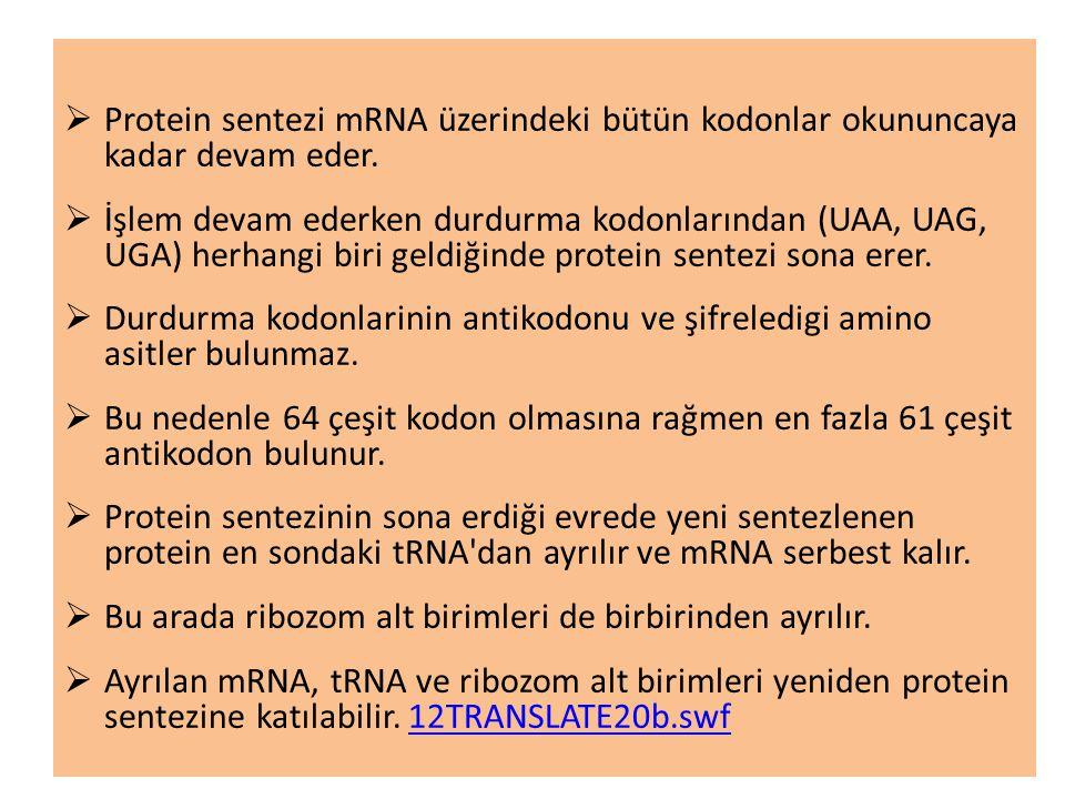  Protein sentezi mRNA üzerindeki bütün kodonlar okununcaya kadar devam eder.  İşlem devam ederken durdurma kodonlarından (UAA, UAG, UGA) herhangi bi