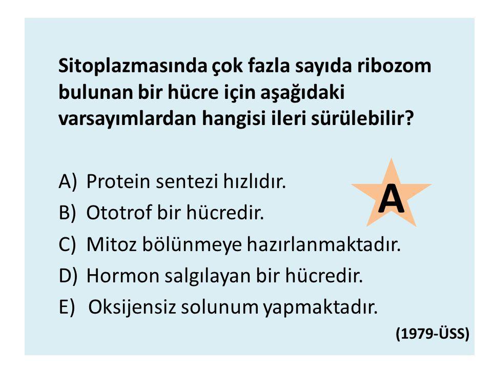 Sitoplazmasında çok fazla sayıda ribozom bulunan bir hücre için aşağıdaki varsayımlardan hangisi ileri sürülebilir? A)Protein sentezi hızlıdır. B)Otot