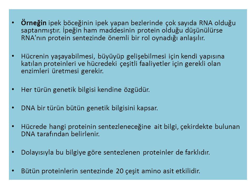 • Örneğin ipek böceğinin ipek yapan bezlerinde çok sayıda RNA olduğu saptanmıştır. İpeğin ham maddesinin protein olduğu düşünülürse RNA'nın protein se