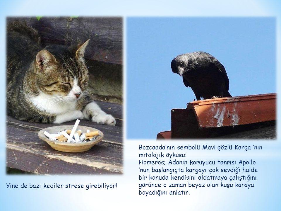 Yine de bazı kediler strese girebiliyor! Bozcaada'nın sembolü Mavi gözlü Karga 'nın mitolojik öyküsü: Homeros; Adanın koruyucu tanrısı Apollo 'nun baş