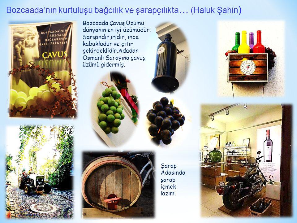 Bozcaada'nın kurtuluşu bağcılık ve şarapçılıkta … (Haluk Şahin ) Bozcaada Çavuş Üzümü dünyanın en iyi üzümüdür. Sarışındır,iridir, ince kabukludur ve