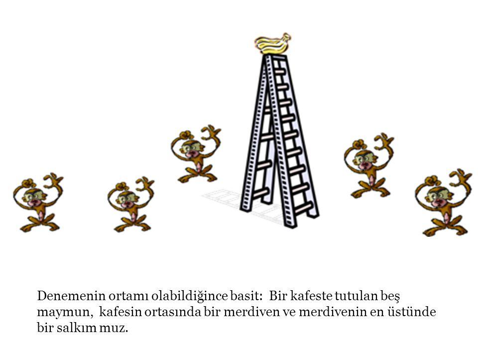 Denemenin ortamı olabildiğince basit: Bir kafeste tutulan beş maymun, kafesin ortasında bir merdiven ve merdivenin en üstünde bir salkım muz.