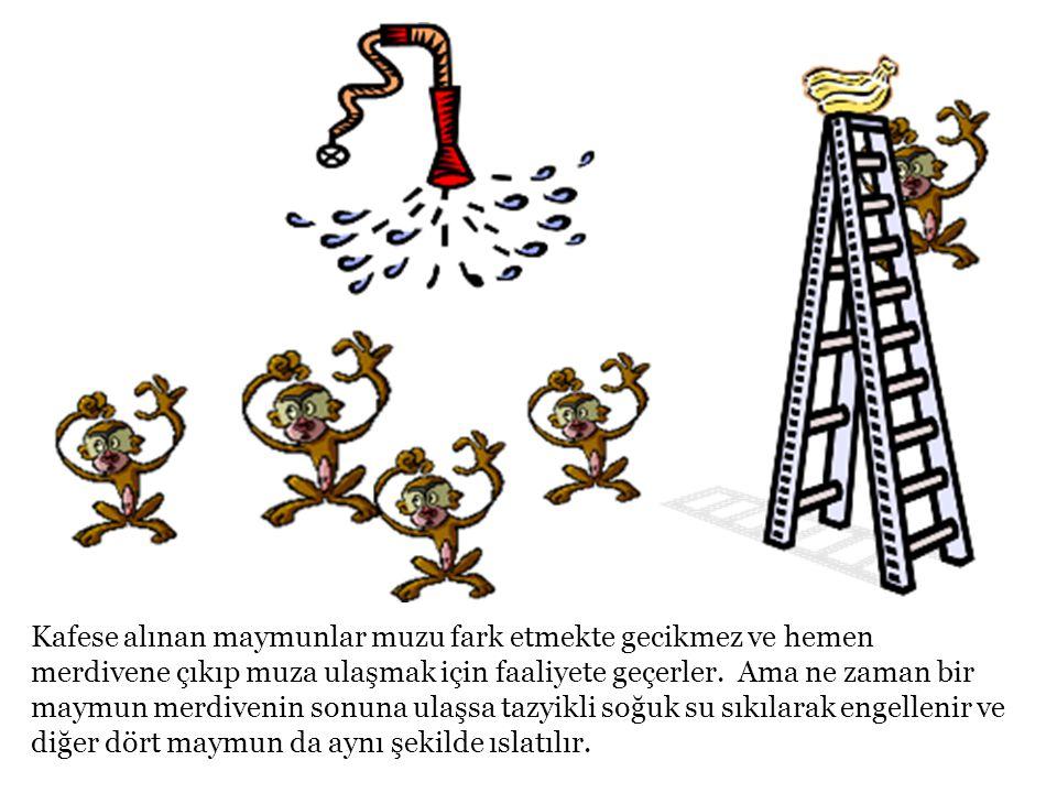 Kafese alınan maymunlar muzu fark etmekte gecikmez ve hemen merdivene çıkıp muza ulaşmak için faaliyete geçerler. Ama ne zaman bir maymun merdivenin s