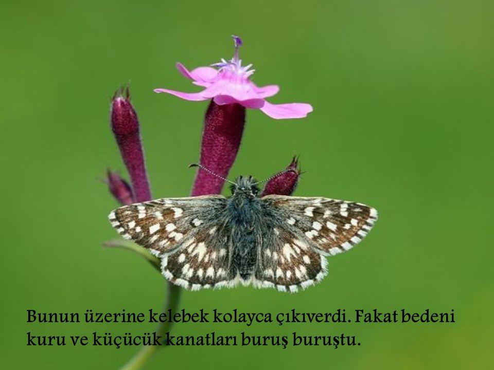 Bunun üzerine kelebek kolayca çıkıverdi. Fakat bedeni kuru ve küçücük kanatları buru ş buru ş tu.