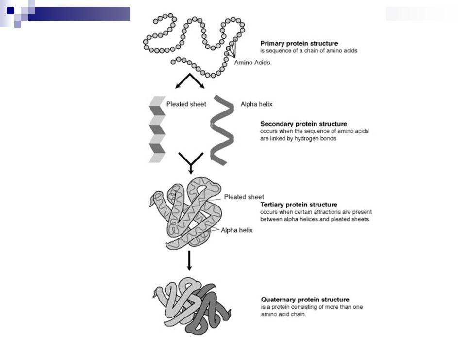 Primer Yapı  Düz aminoasit zinciri (peptid bağı)