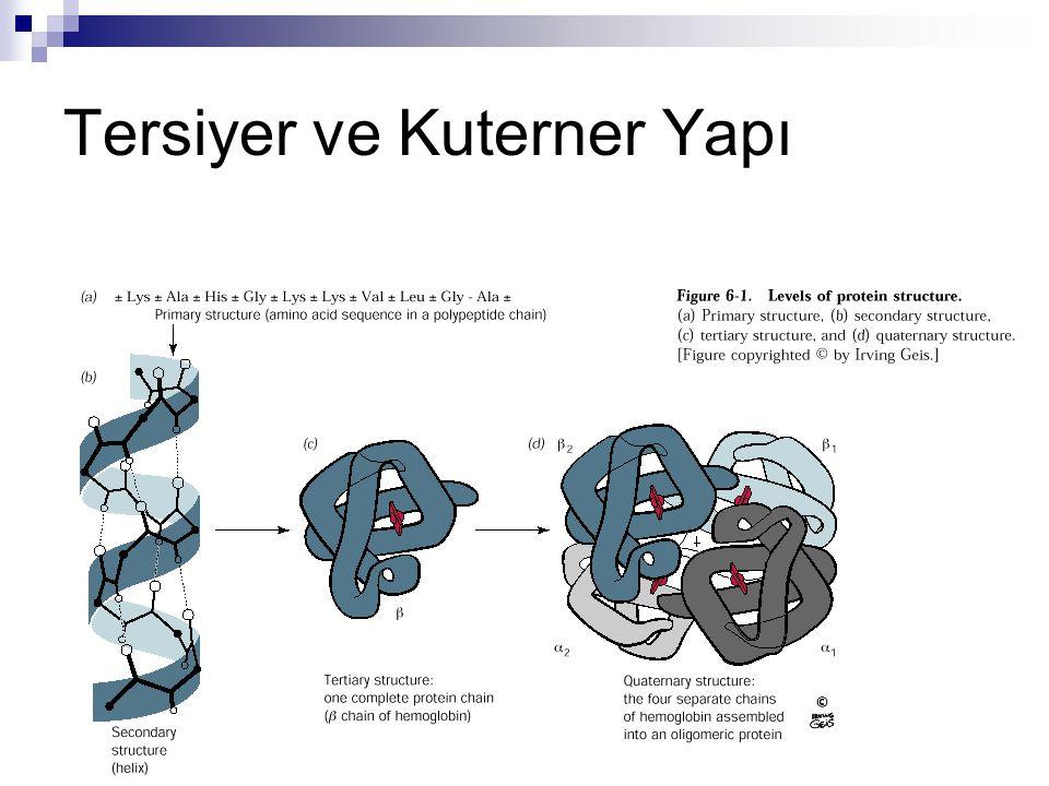 Proteinlerin Fonksiyonları  Yapısal Proteinler  Kas proteinleri  Hücre iskeleti proteinleri  Fonksiyonel Proteinler  Enzimler  Hormonlar