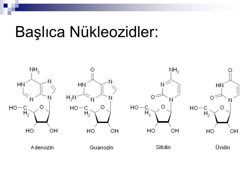Nükleotidler Baz + Karbohidrat + Fosfat Fosfoester bağı Fosfat Karbohidrat Baz