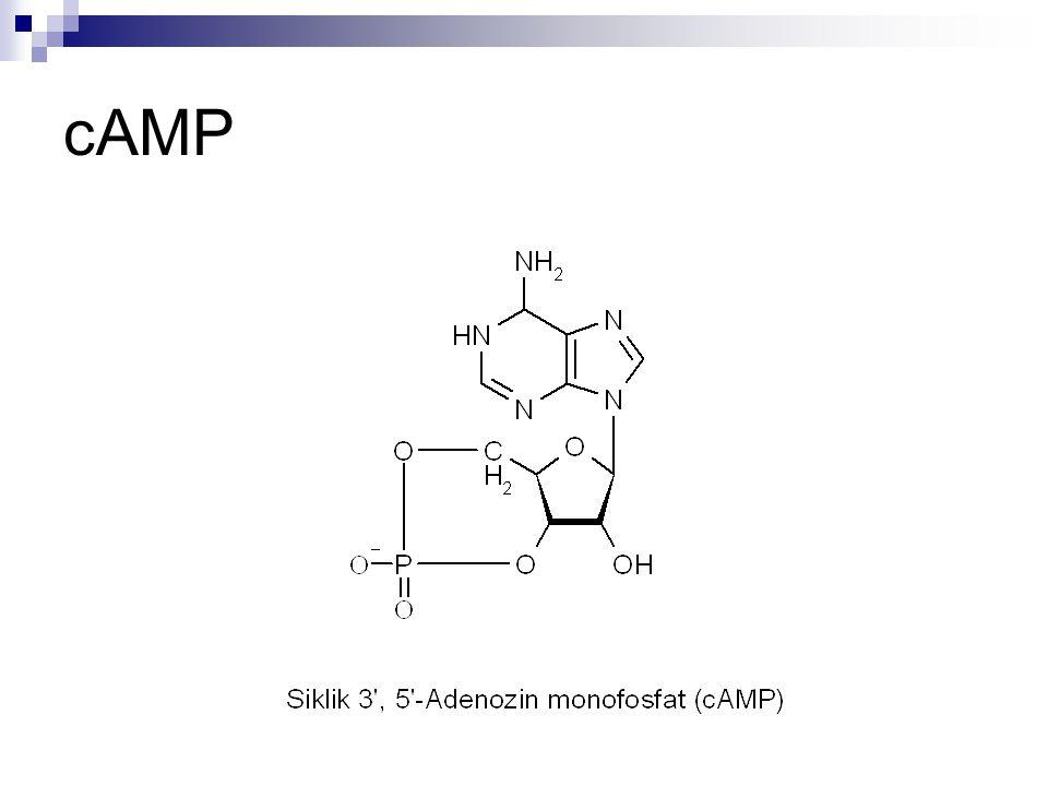 Polinükleotidler + 5' 3'