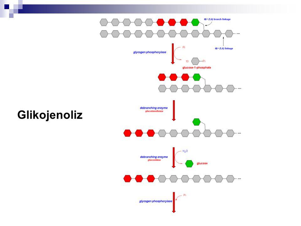 Glikojenez Karaciğerde Glikojenoliz