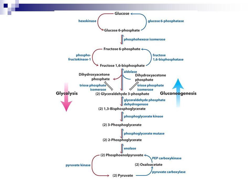 Karaciğer Glikojeni Kas Glikojeni Kan GlukozuLaktik asit Cori Döngüsü