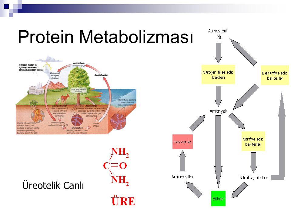 VücütProteinleri Aminoasitler DiyetProteinleriGlikoliz KrebsDöngüsü CO 2 GlukozKetonlar Amonyak (NH 3 ) Üre