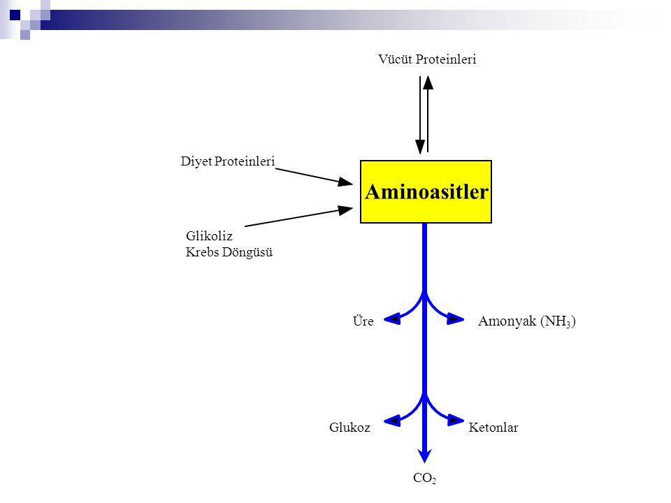 Aminoasitlerin Katabolizması  Amino grubunun uzaklaştırılması  Karbon iskeletinin metabolik ara ürünlere dönüştürülmesi
