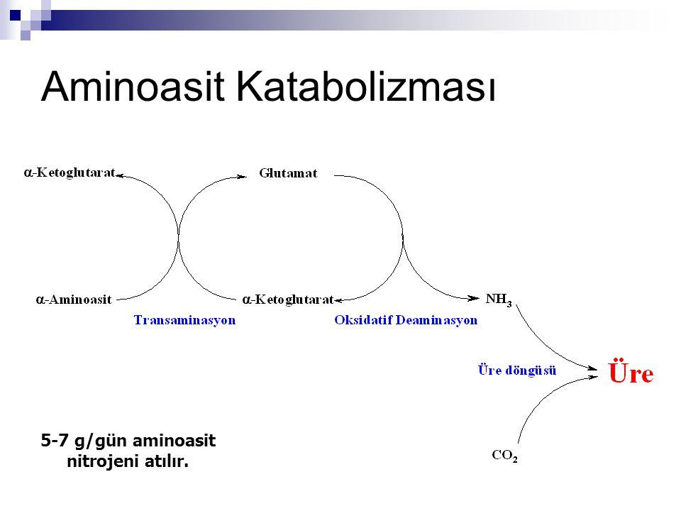 Transaminasyon Lizin, treonin, prolin ve hidroksiprolin transaminasyona uğrayamaz.