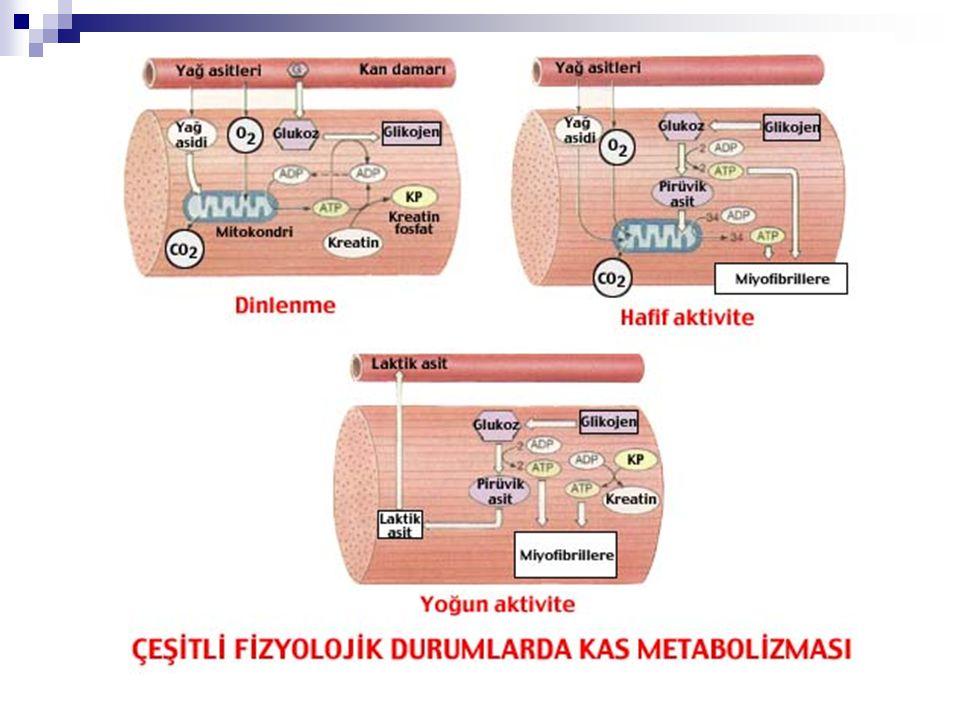 Kas Tipleri  Tip I (yavaş kasılma)  Tip II A (hızlı kasılma, oksidatif)  Tip IIB (hızlı kasılma, glikolitik).