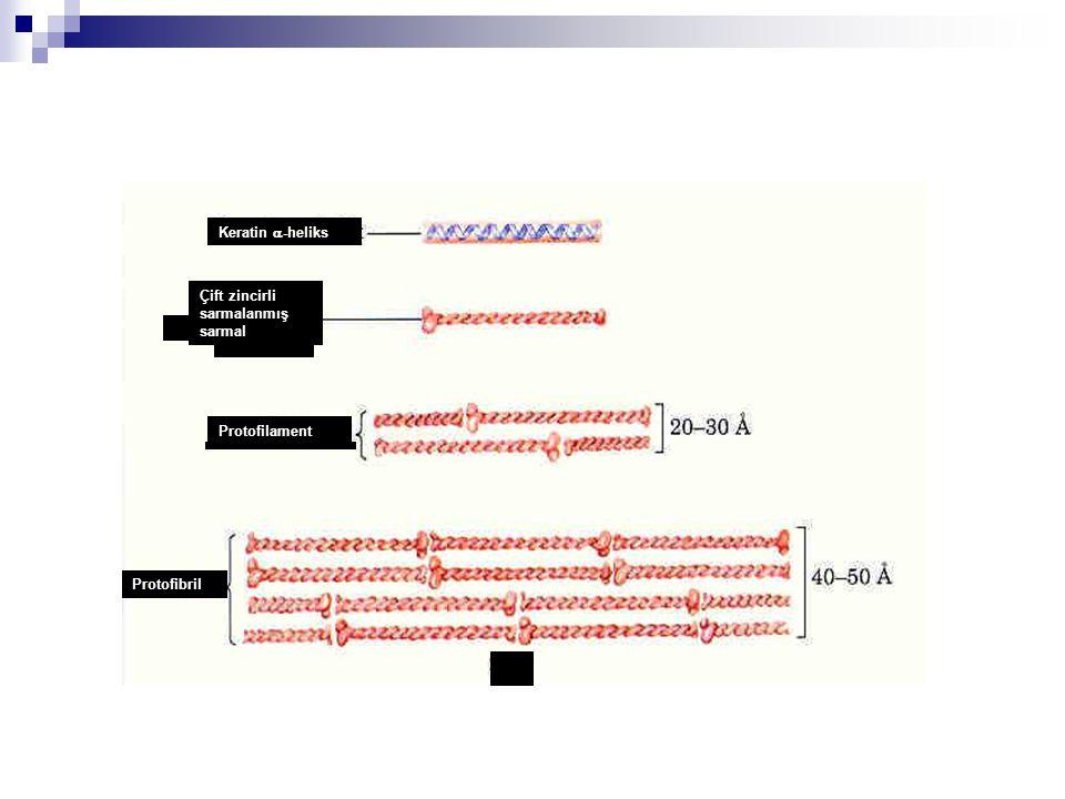 Protofibril Protofilament Çift zincirli sarmalanmış sarmal Keratin  -heliks