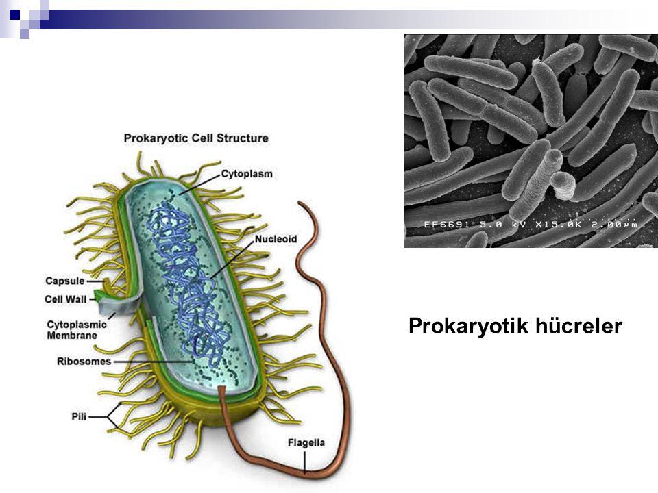 Ökaryotik Hücre