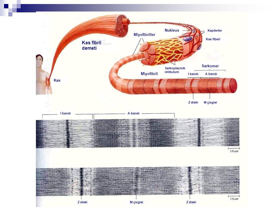 Kas fibril demeti Miyofibriller Nukleus Miyofibril Sarkoplazmik retikulum Sarkomer Kas fiberi Kapilerler I bandı A bandı I bandı Z diskiM çizgisi Z di