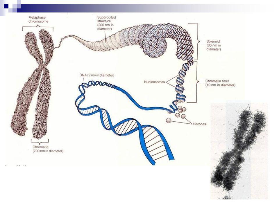 Fosfolipid çift tabakası Fosfolipidler İntegral membran proteinleri Hidrofobik bölgeler Hidrofilik bölgeler Periferal membran proteini Nukleus Sitozol Karbohidrat yan zincirleri Glikoprotein Plazma membranı