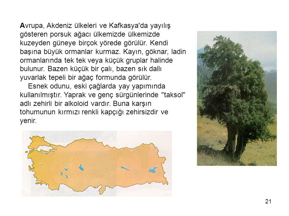 21 Avrupa, Akdeniz ülkeleri ve Kafkasya da yayılış gösteren porsuk ağacı ülkemizde ülkemizde kuzeyden güneye birçok yörede görülür.